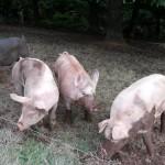 pigs mud